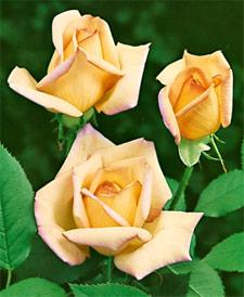 Peace Hybrid Tea Rose - 1 bare root plant