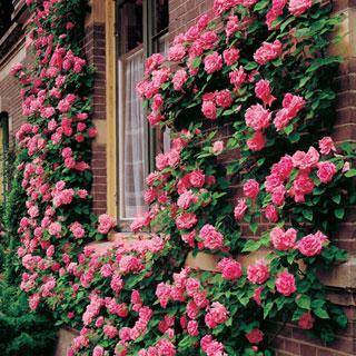 america salmon pink climbing rose reviews. Black Bedroom Furniture Sets. Home Design Ideas