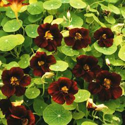 Nasturtium m. 'Black Velvet'