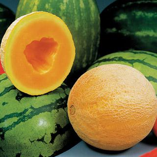 Melon Athena Hybrid