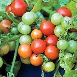 Tomato Bajaja (Bush/Basket)
