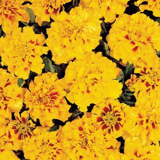 Marigold Aurora Yellow Fire
