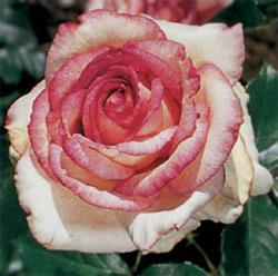 Kordes Perfecta Hybrid Tea Rose - 1 bare root plant