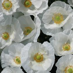 Poppy rhoeas'Bridal White'