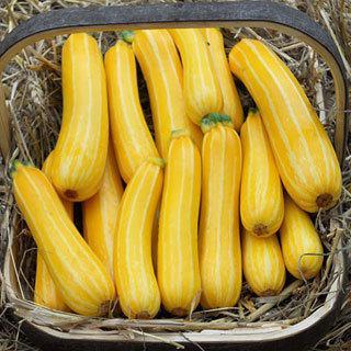 Zucchini Sunstripe