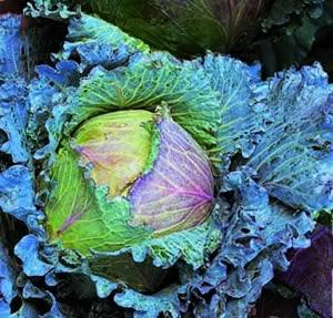 Cabbage, January King, Savoy