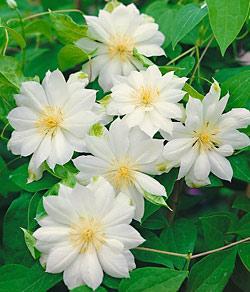 Duchess of Edinburgh Clematis  - 3 pre-started plants