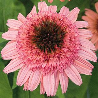 Raspberry Truffle Echinacea Coneflower Plant
