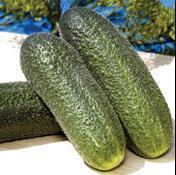 Adam F-1 Cucumber