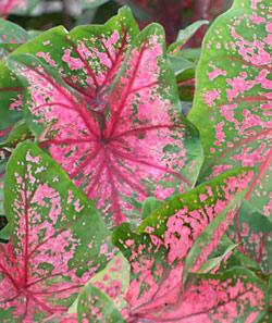 Fire Chief Fancy Leaved Caladium - 3 tubers
