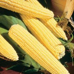 Northern Xtra-Sweet (sh2) Hybrid Sweet Corn