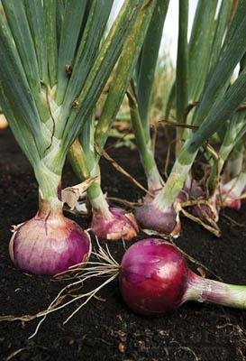 Onion Plants-Red Candy Apple