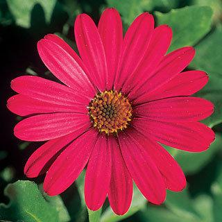 Purple Mountain African Daisy Plant