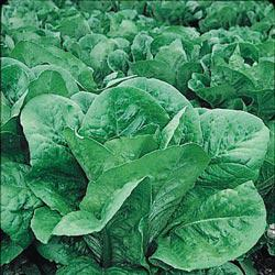 Romaine Head Lettuce
