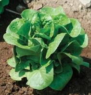 Winter Density Bibb Lettuce