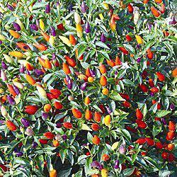 Tricolore Garda Ornamental Pepper