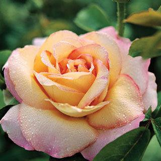 Rose Peace Hybrid Tea