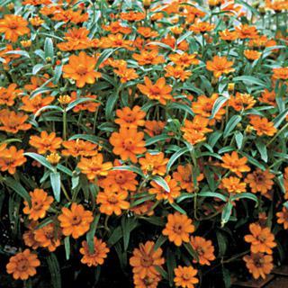 Zinnia Crystal Orange