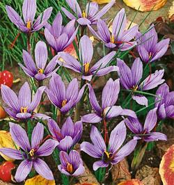 SOLD OUT Saffron Fall Blooming Crocus - 10 bulbs
