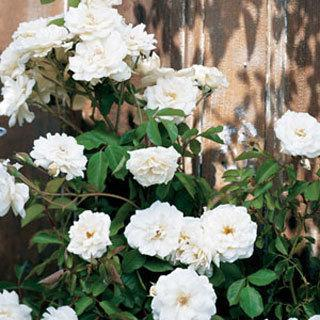 Lace Cascade White Climbing Rose