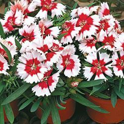 Red Peppermint Dianthus