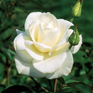 John F. Kennedy White Hybrid Tea Rose
