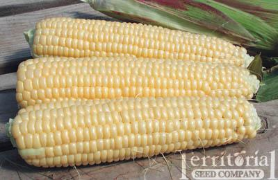 Earlivee Corn