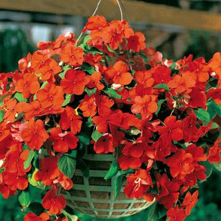 Impatiens Blitz Orange