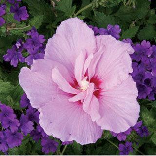 Lavender Chiffon Hibiscus Rose of Sharon Shrub