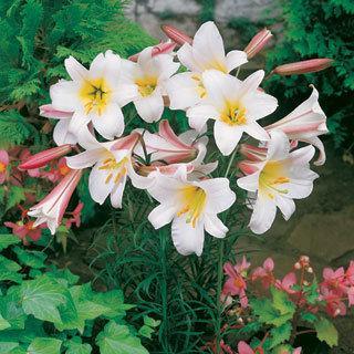 Lilium Regale Trumpet Lily Bulbs