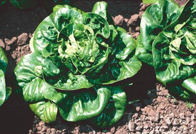 Little Gem Lettuce Organic