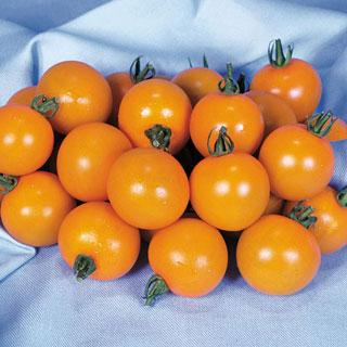 Orange Paruche Hybrid Tomato Annual Plant