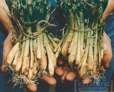 Onion Plants-Yellow Granex