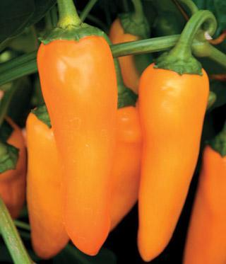 Pepper Park's Orangesicle Hybrid