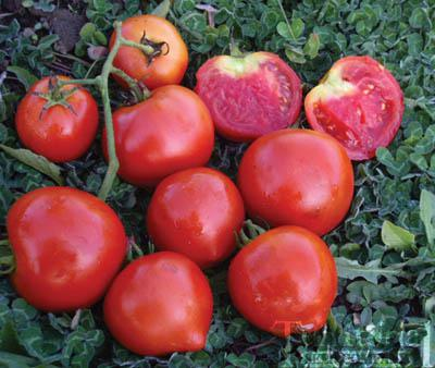 Tomato Golden Gem Hybrid reviews SeedRatingscom