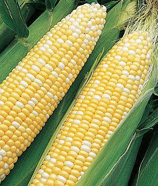Corn, Sun & Stars Bicolor Hybrid