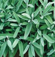 Common Sage (OG)