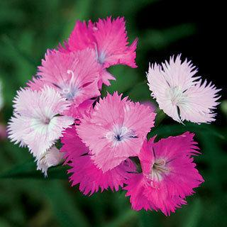 First Love® Dianthus Pinks Plant
