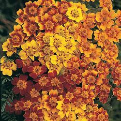 Marigold tenuifolia 'Starfire'