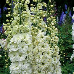 Delphinium h. 'Green Twist'