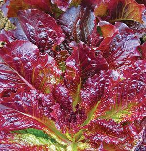 Lettuce, Outstanding, Romaine, Organic