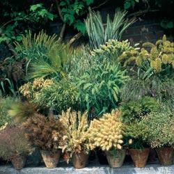 Grasses Ornamental Annual Grasses Mixed