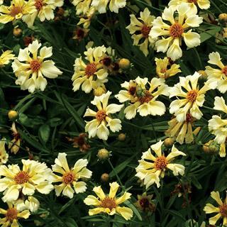 Coreopsis Pinwheel