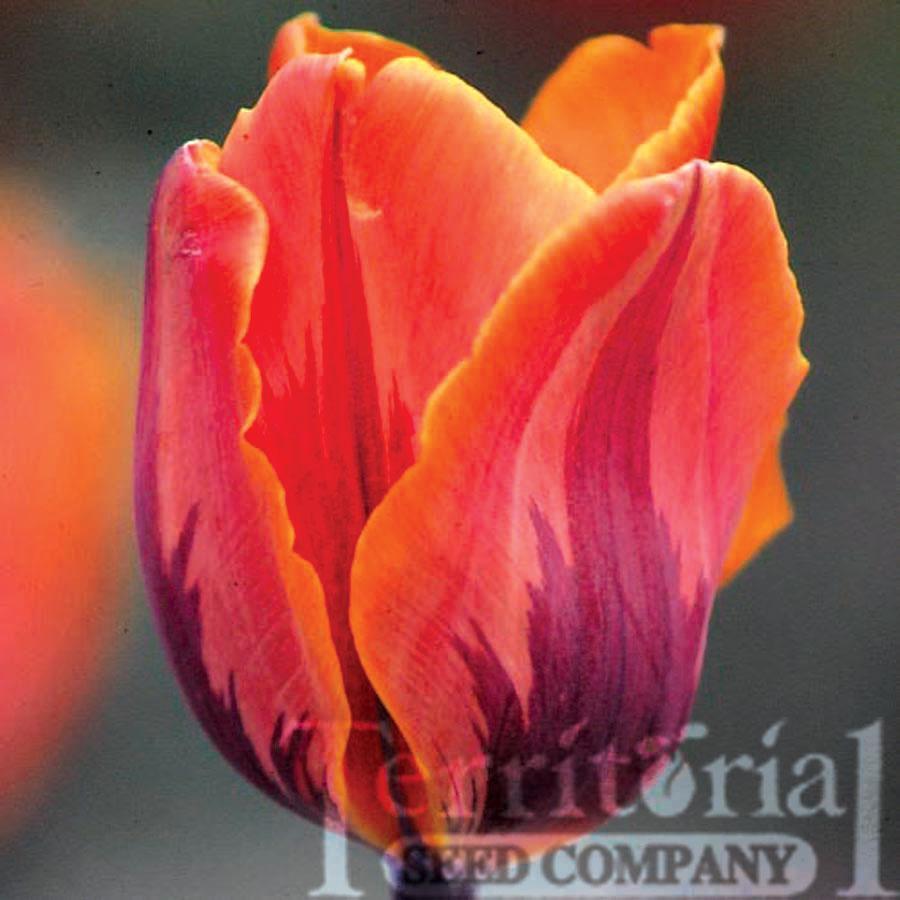 Tulip-Prinses Irene