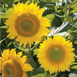 Sunflower annuus 'Green Heart' F1 Hybrid