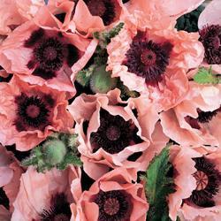 Poppy orientale 'Coral Reef'™