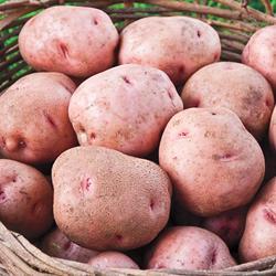 Potato Red Pontiac