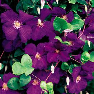 Jackmanii Clematis Virgin's Bower Plant