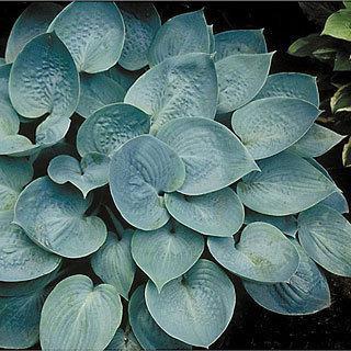 Prairie Sky Hosta Plant