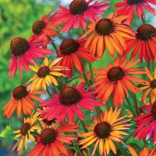 Hot Summer Coneflower
